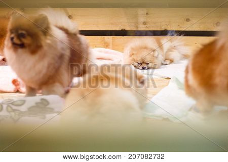 Group of spitz dogs in wooden box. Focus on sleeping puppy spitz dog.