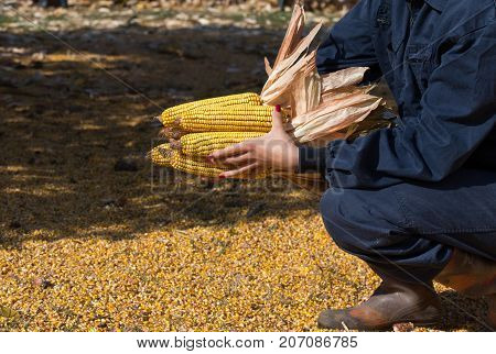 Corn Cobs In Farmer's Hand