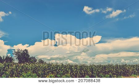 Rural landscape. Corn fields in the countryside are bright sky.