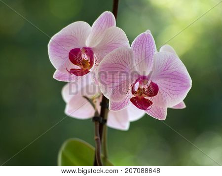 Pink orchids flowers on a blurred background.