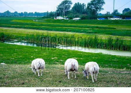Sheeps in nature on meadow, Holland, Netherlands.