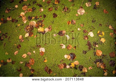 Tranquil pond .Floating leaves in water with autumn leaves copy space. green flower. abstract geometric background, colorful and texture