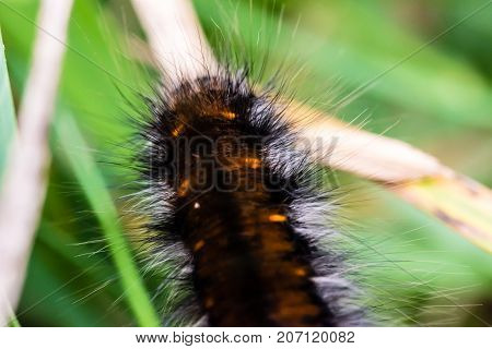 Nice Black, Hairy Caterpillar Of Butterfly