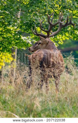 Red Deer Stags (Cervus elaphus) ,nature usa