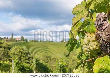 Ripe juicy green grapes for white vine in vineyard on south Styrian vine route in Austria