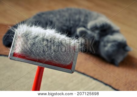 Brush for combing the cat fur with hair. British blue shorthair cat on a blurry background.