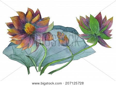 Original watercolor painting of aquatic plants of lotus and its leaf