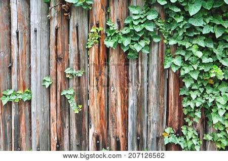 Texture of wooden boards overgrown with green ivy.