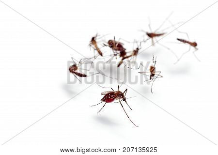 Macro of mosquito sucking blood isolated on white backgroundMosquito dangerous is carrier of malaria encephalitis dengue and zika virus
