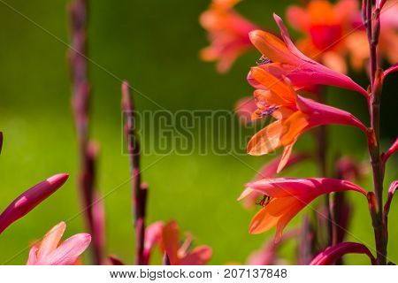 Bright fluorescent pink and orange mixed color Gladiolus flowers with a green background