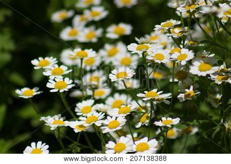 A beautiful patch of Feverfew or Tanacetum Parthenium