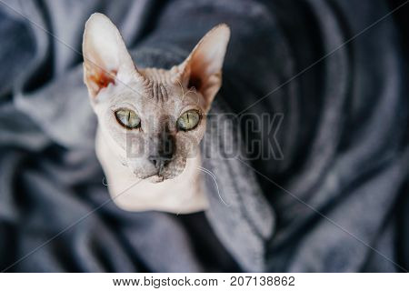 Beautiful cat of the Sphinx under a warm gray blanket blanket. shot from above.