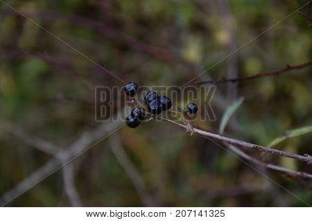 Elderberry fruits nature in bavaria autumn fall