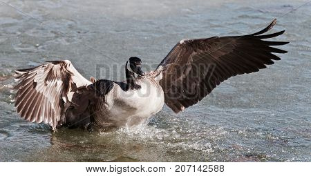 Picture With A Canada Goose Landing On Icy Water