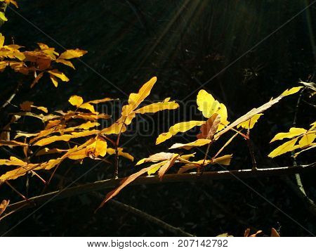Golden Acer Tree Leaves in the Evening
