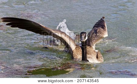 Photo Of A Canada Goose Landing On Icy Water