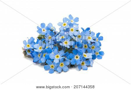 blue flower forget-me-nots isolated on white background