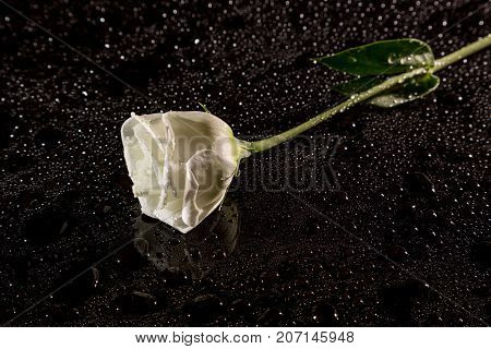 White Rose On A Black Reflective Background With Drops Of Water, Studio Shot,