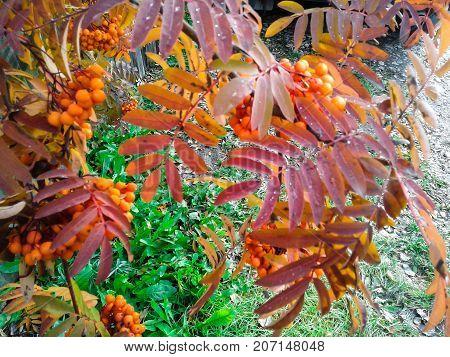 Rowan Siberian bitter in October of beautiful fire color