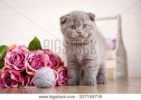 Scottish kitten portrait. Cat at home. Scottish Fold Cat. Purebred cats. playful kitten