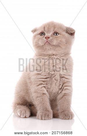 Small Scottish fold kitten on white background. Cat food promotion