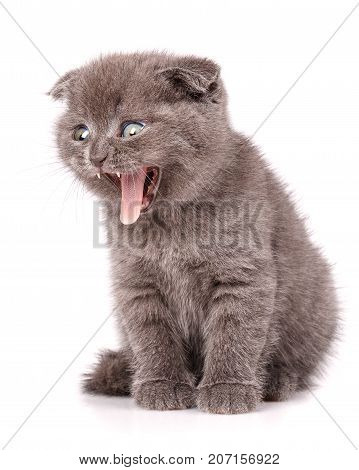 Gray Scottish Fold Cat sits on white background with open mouth. A playful kitten. Close-up portrait