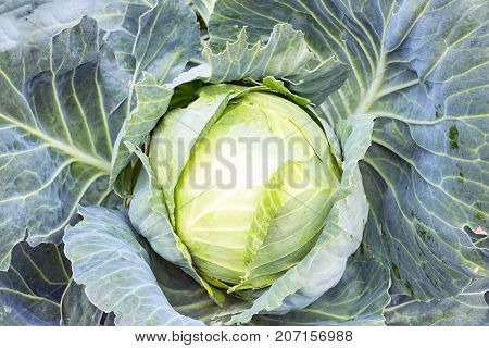 Ripe white cabbage in the garden. Vegetable for a vegetarian diet