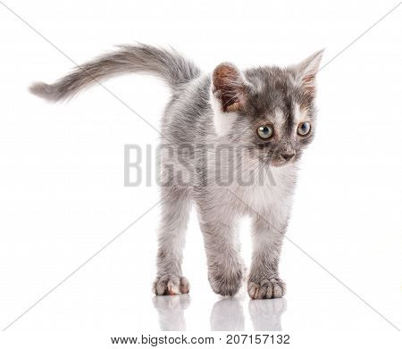 Cat is isolated on white. Cat poster. Kitty without breed.