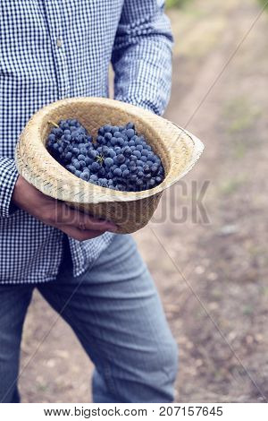 Straw Hat Grapes Clusters Syrah Harvest Vineyard