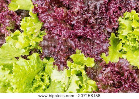Fresh Lollo Rosso Lettuce And Green Lettuce