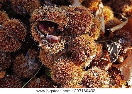 A lot of chestnuts. Autumn is coming. Montón de castañas. El otoño está llegando.