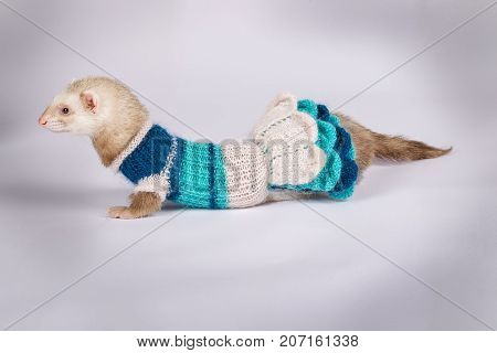 Young cute pastel ferret dressed, close up