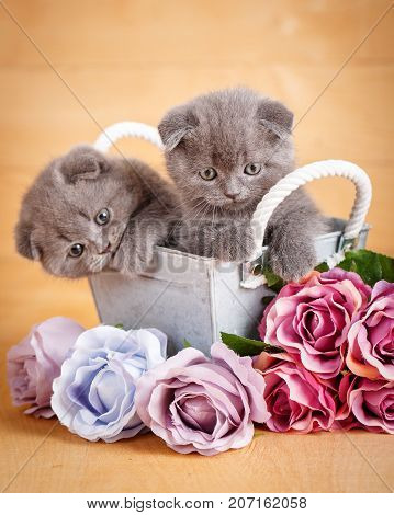 Couple Scottish Fold Cats in decorative wooden box near bouquet of flowers.Cats at home. Scottish fold cat portrait. Cat food promotion