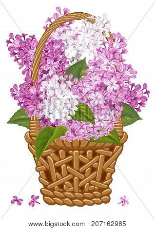 Gentle fragrant violet and white branches of lilac in thatch wicker basket. Vector illustration. Isolated on white background.