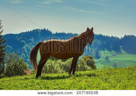 Chestnut Horse On Pasture