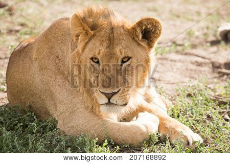 Young Lion resting in the shade, Serengeti