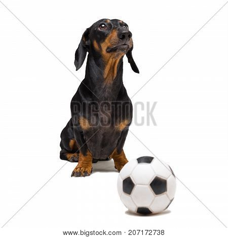 funny portrait of a dog (puppy) breed dachshund black tan with soccer (football) ball isolated on white background