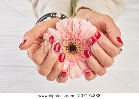 Gentle gerbera in female manicured hands. Old woman manicured hands holding peach color gerbera.