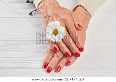 Little white chrysanthemum and female hands. Well-groomed woman hands with a white chrysanthemum close up. Beautiful red manicure and gentle white chrysanthemum on white wooden background.