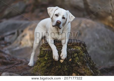 young cute exhausted labrador retriever dog puppy sits on a tree with pretty face
