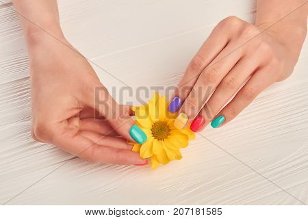 Well-groomed hands holding yellow chrysanthemum. Little chrysanthemum flower in gentle female hands. Hands treatment and care.