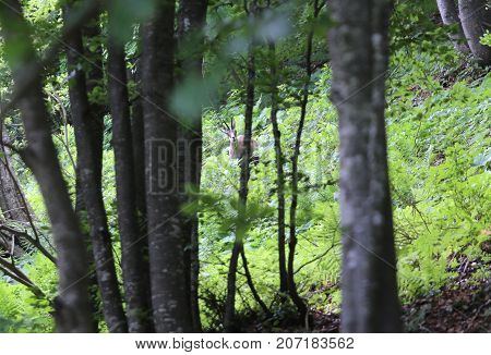 Young Scared Chamois In The Forest In Mountains