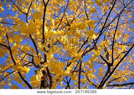 Autumn maple with yellow leaves on sky background