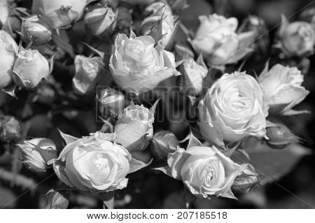 Black and white photography of roses in garden