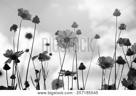 Black and white flowers of coreopsis on sky background
