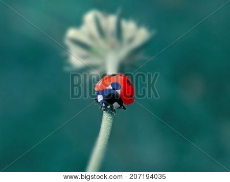 small ladybird on the white litle flower
