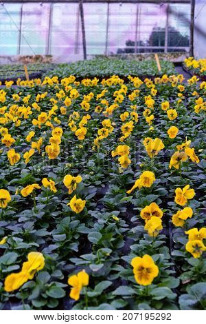 yellow flower production in green house agriculture production cultivation