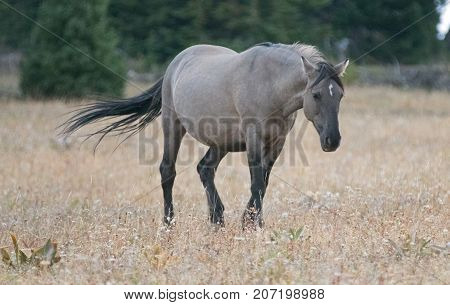 Grulla Gray pregnant mare wild horse with windblown tail walking in the afternoon in the Pryor Mountains Wild Horse Range on the border of Montana and Wyoming United States