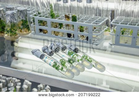Five test tubes with Microplants of cloned Karelian birch with nutrient medium on the glass table. Micropropagation technology in vitro