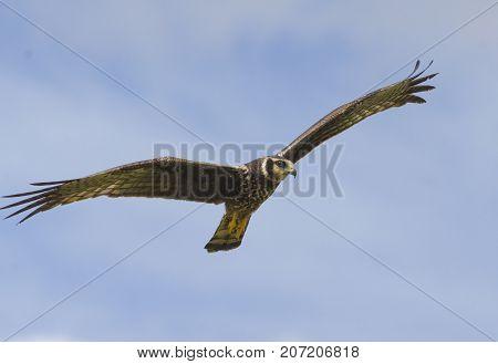 Long-winged Harrier (Circus Buffoni) hunting over Caroni Rice Fields Trinidad